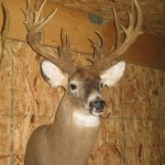 Whitetail Uncommon
