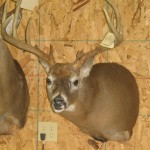 Whitetail Shoulder Mount