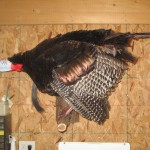 Turkey Full Mount