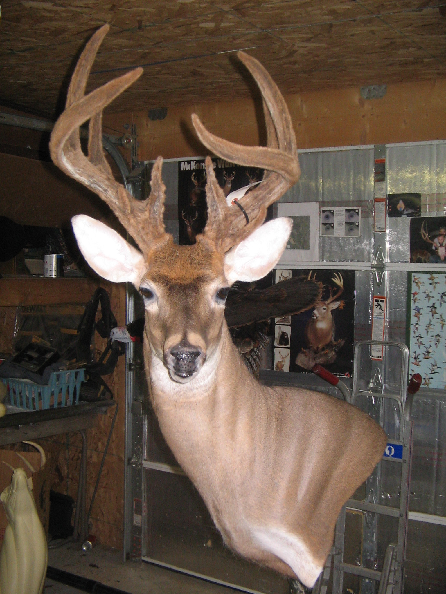 Whitetail In Velvet Holly Swamp Taxidermy