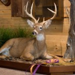 Award Winning Full Deer Mount - Laying