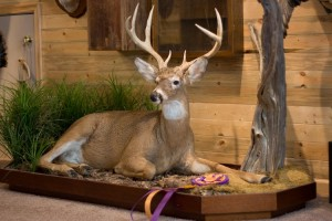 Award Winning Full Deer Mount - Laying